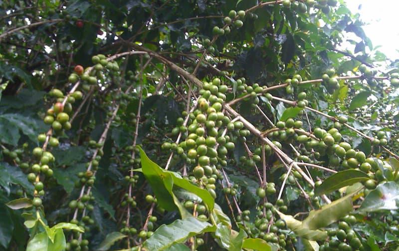 【コーヒー豆】グアテマラ産の特徴と7大産地を解説