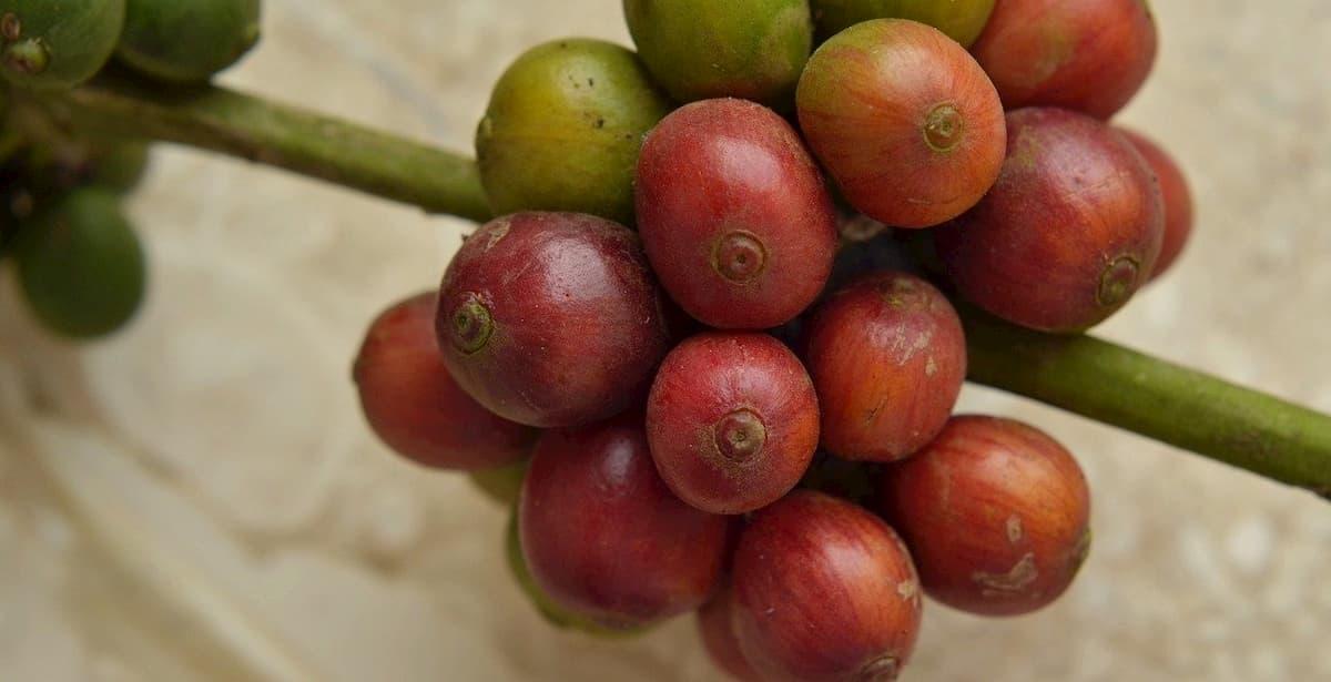 おすすめのエチオピアコーヒー