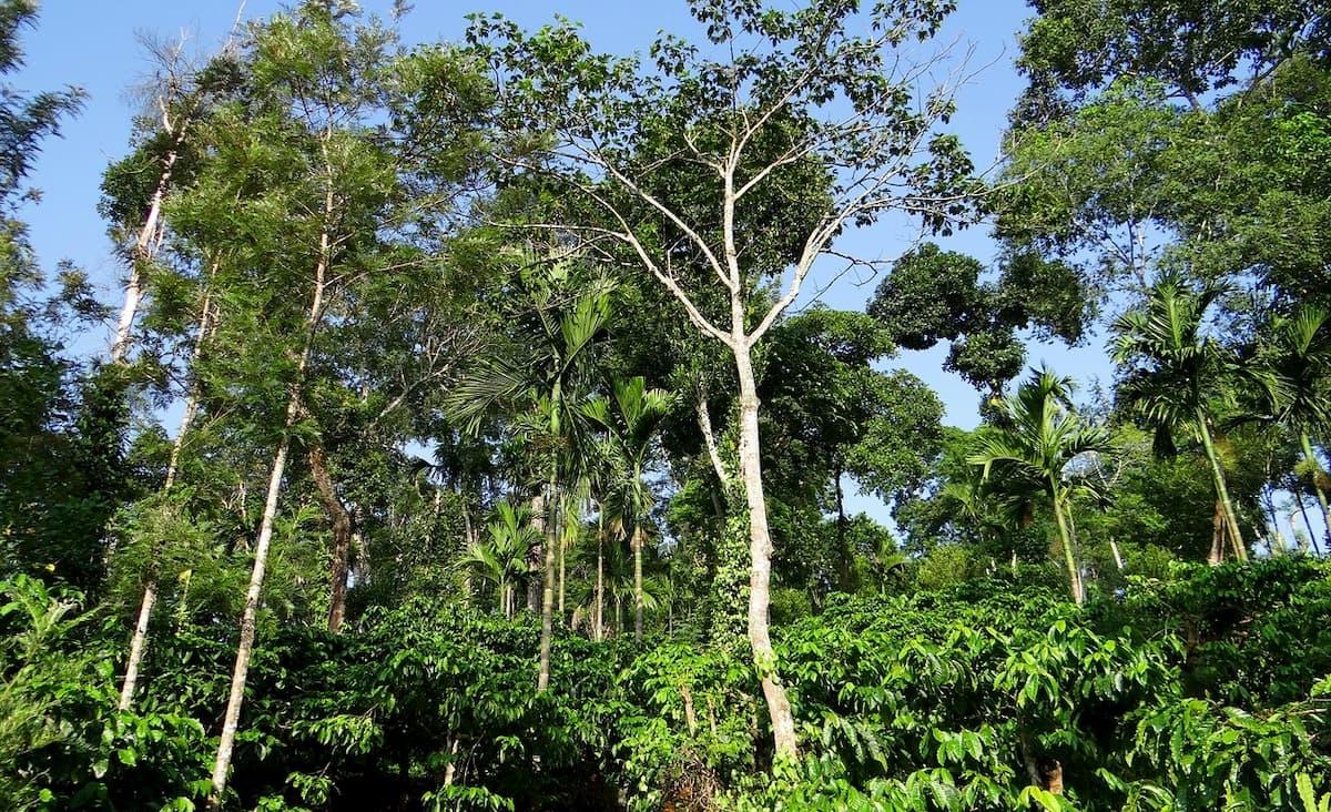 エチオピアのコーヒー豆生産方法・システム
