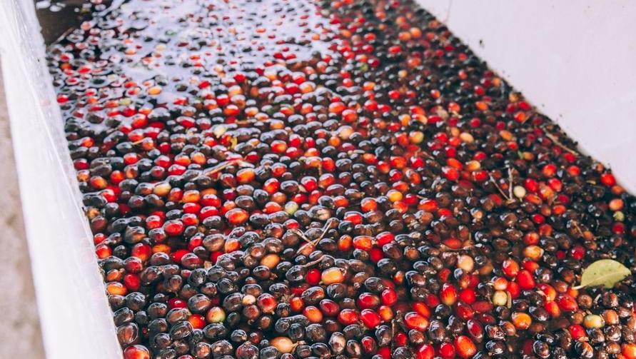 イルガチェフェのコーヒー豆 特徴