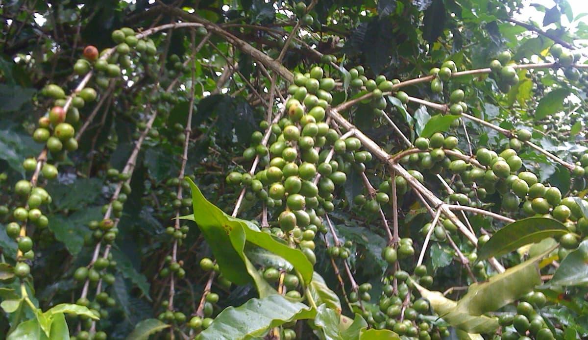 グアテマラ産コーヒーの特徴とは