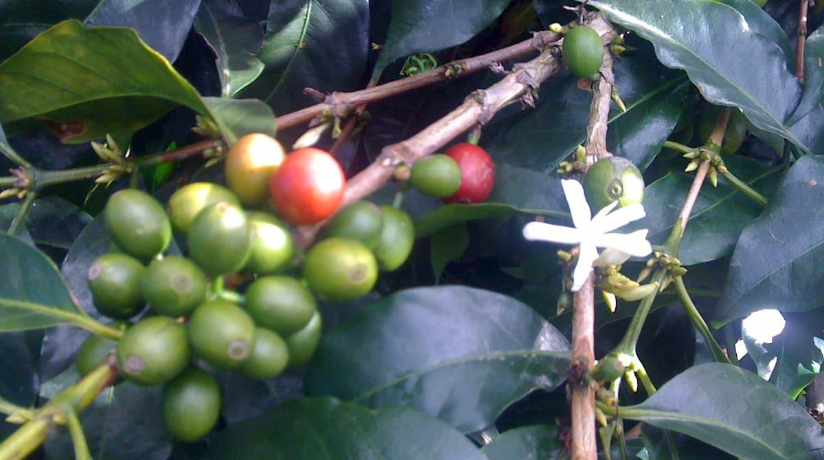 グアテマラコーヒーの酸味
