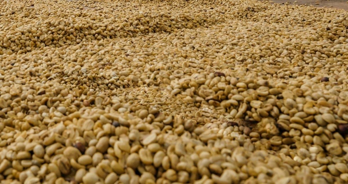 コーヒー生豆 欠点豆の種類