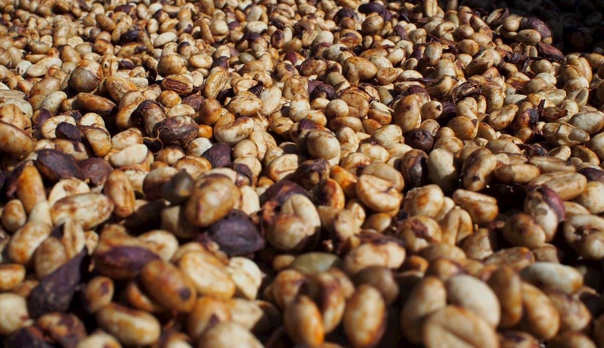 コーヒー生豆 精製方法の見方