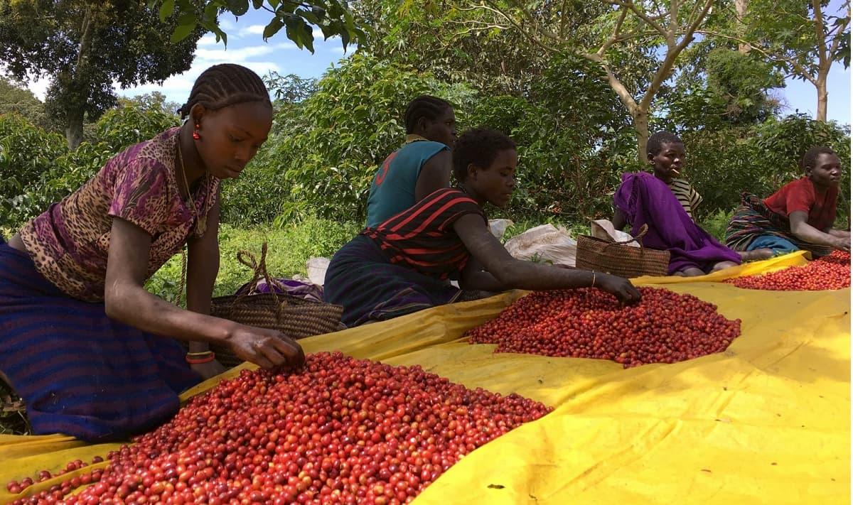 コーヒー生豆 産地の選び方