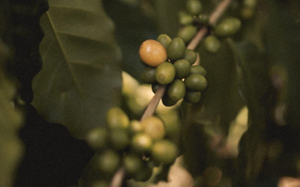 コーヒー豆 マンデリンのおすすめ5選